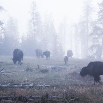 Buffalo im Morgengrauen