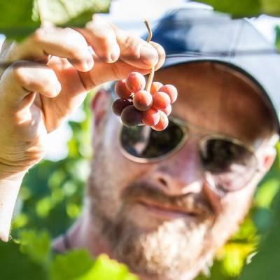 sind die Trauben reif?
