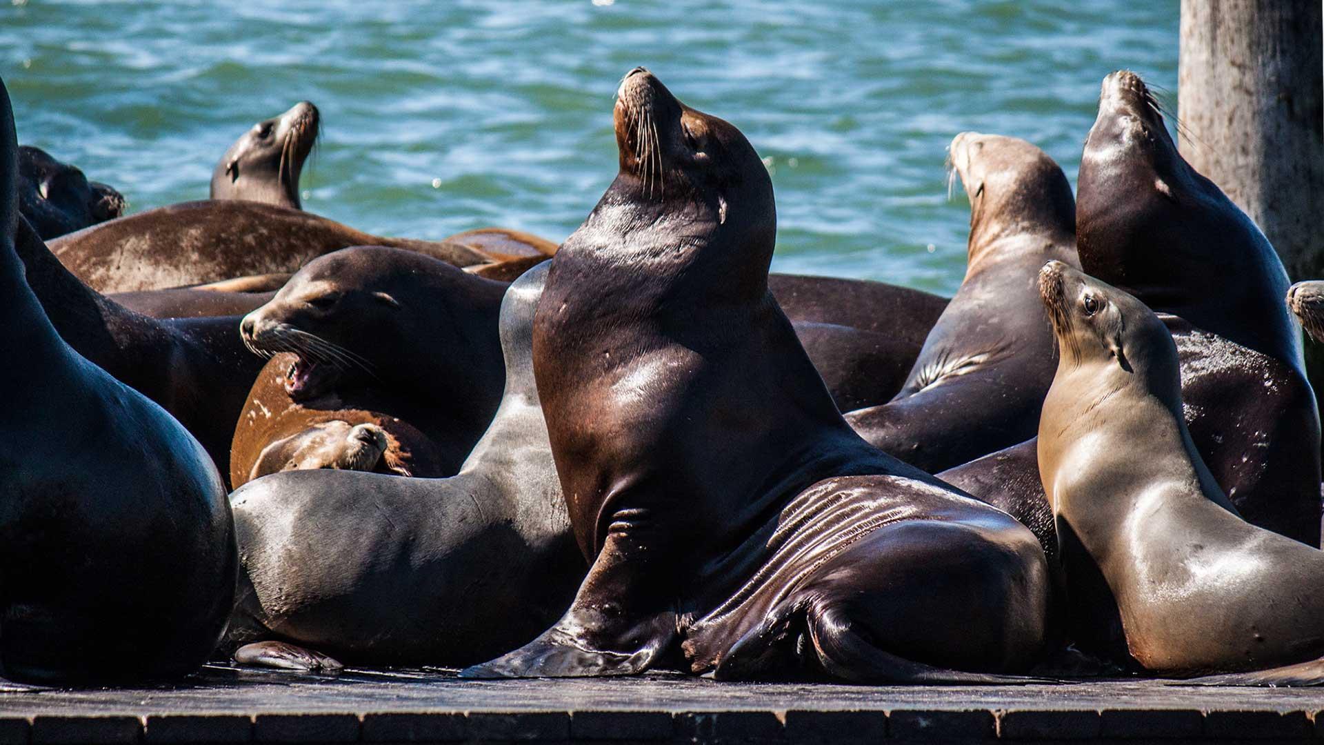 Stolz posieren die Robben an der Fisherman's Wharf für die Touristen als müssten sie so ihren Lebensunterhalt verdienen. Na ja, ein wenig stimmt das sicherlich auch.