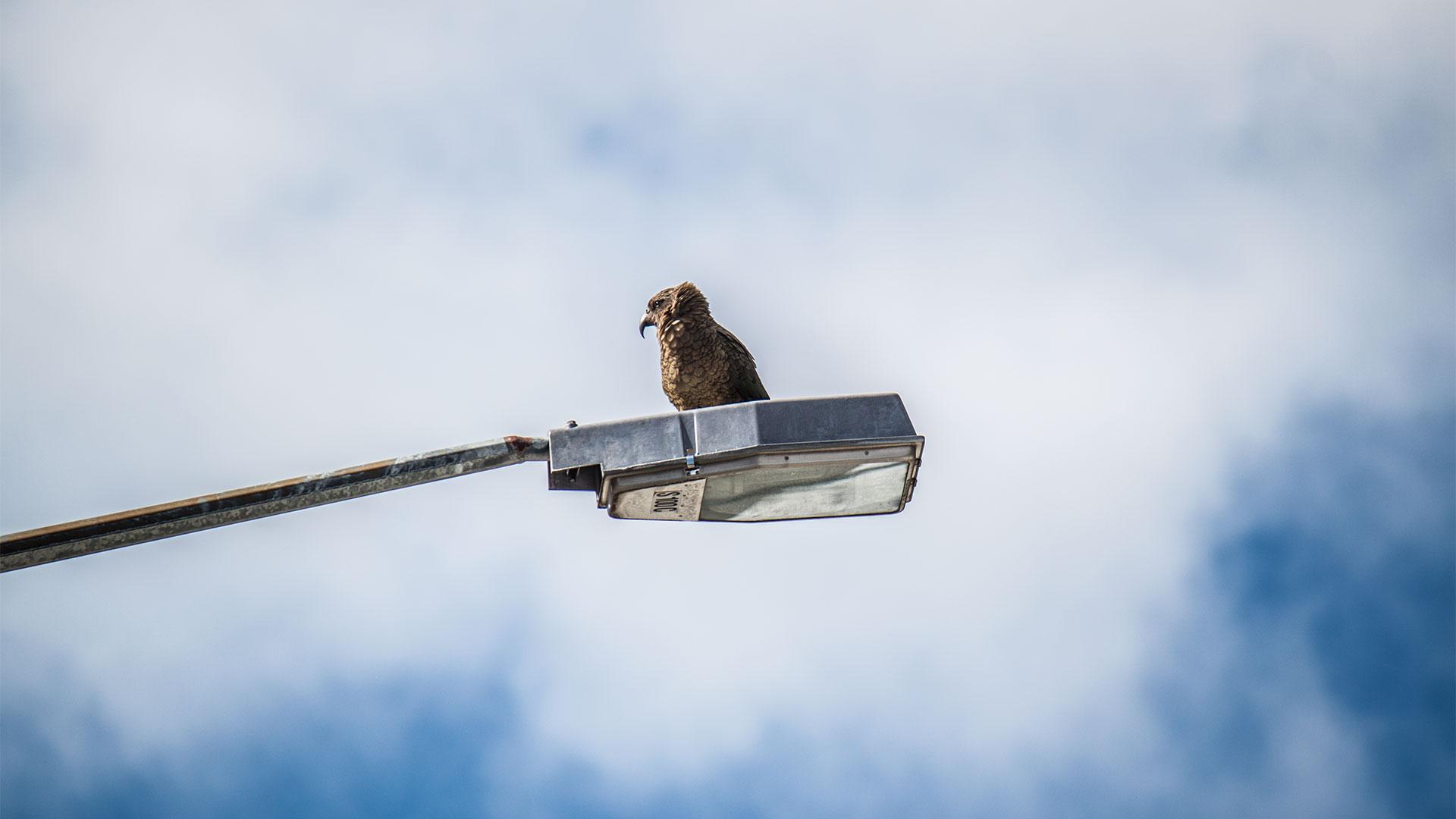 Heimat der Kea