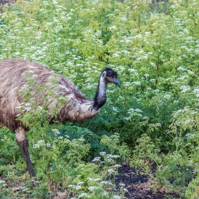 Achtung! Diese großen Emus laufen  einem gerne vors Auto