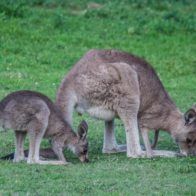Australiens Tierwelt hautnah