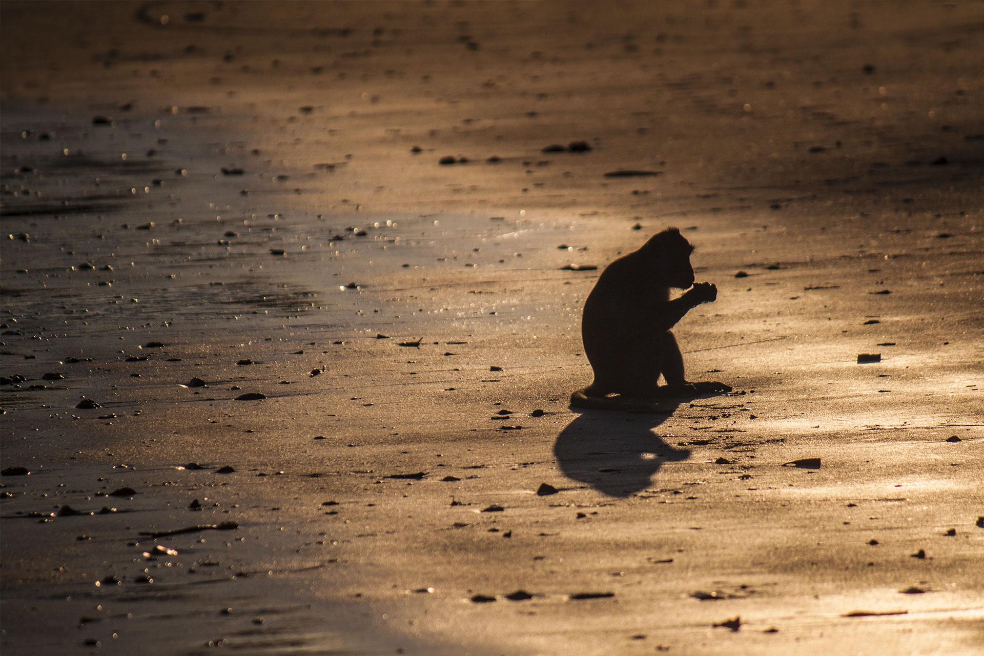 Affe im Sonnenuntergang.